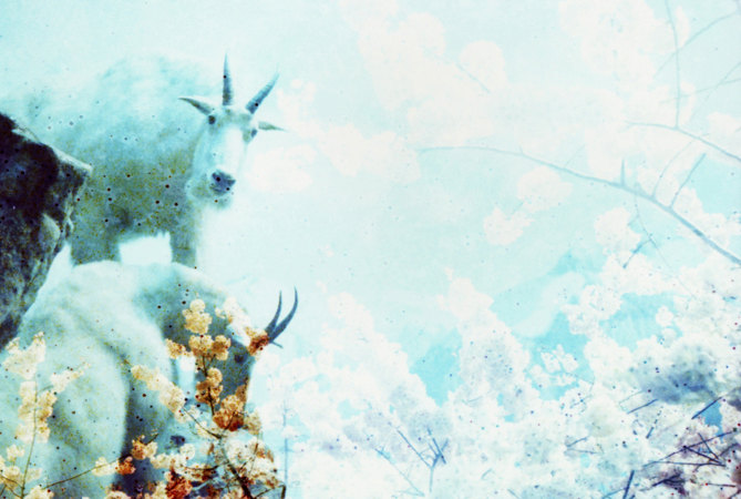 Stunning Goat Photo